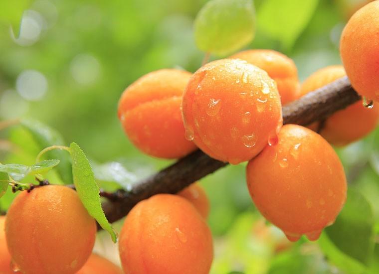 Albicocche, proprietà nutrizionali, benefici e controindicazioni