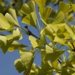 Ginkgo biloba pianta