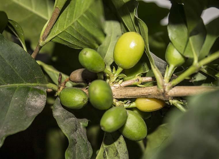 Caffè verde, a cosa serve e controindicazioni