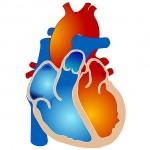 Coronarie e cuore