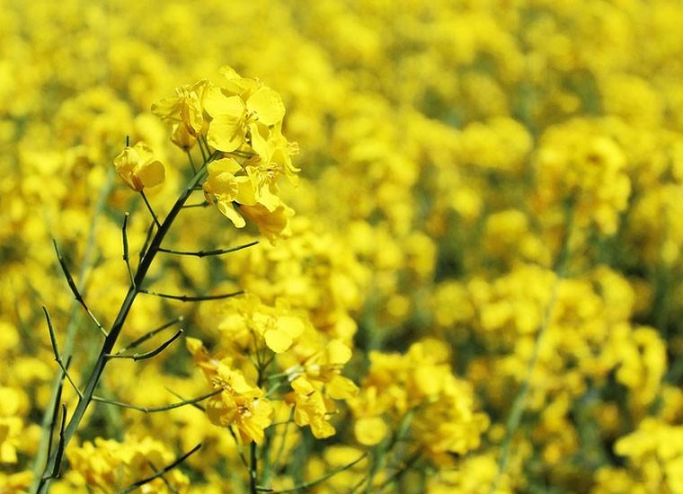 Olio di colza, proprietà: fa male alla salute?