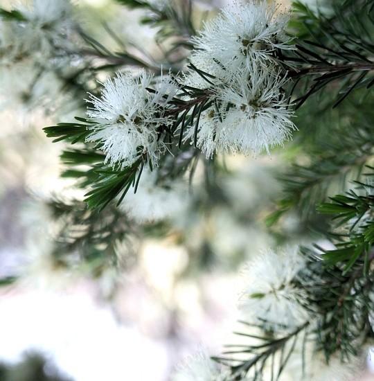 Tea tree oil: un'estratto naturale versatile e molto salutare