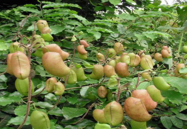 Griffonia Simplicifolia: proprietà terapeutiche e controindicazioni