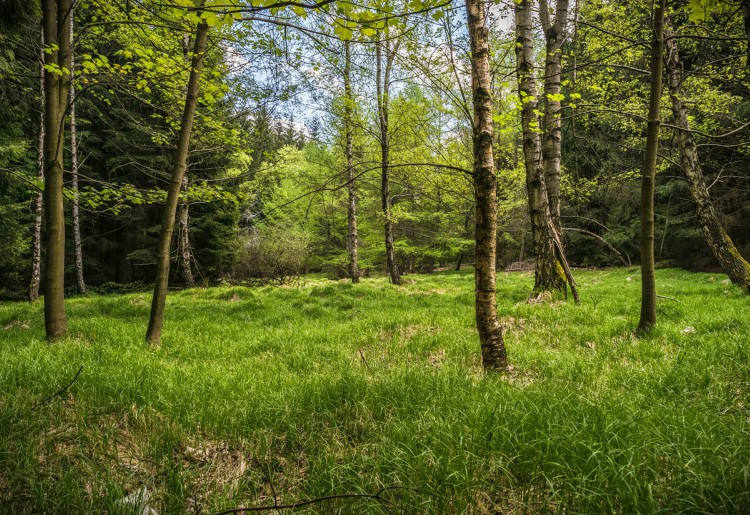 Betulla, drenante naturale e non solo