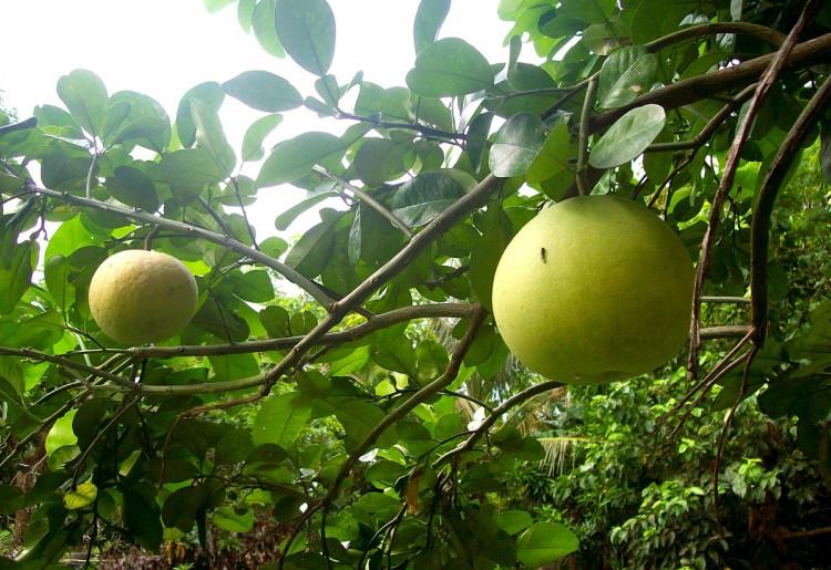 Il pomelo: proprietà e valori nutrizionali