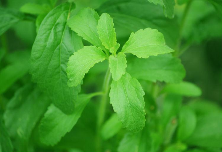 Cos'è la Stevia, ed è sicura? Tutte le proprietà