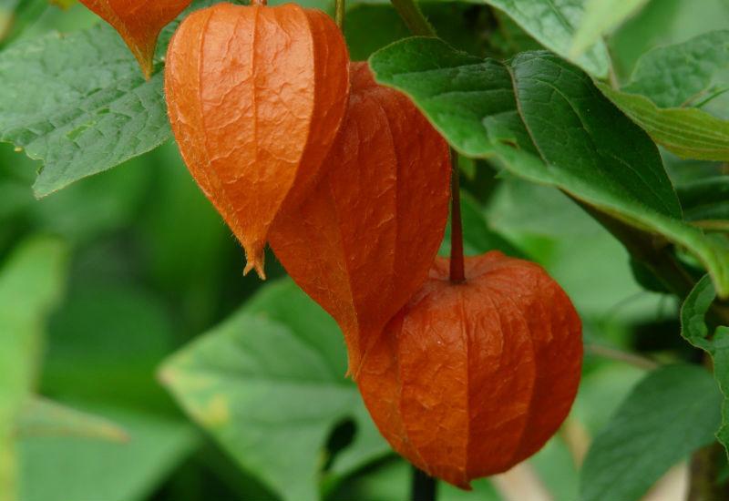 Alchechengi, coltivazione, proprietà e valori nutrizionali