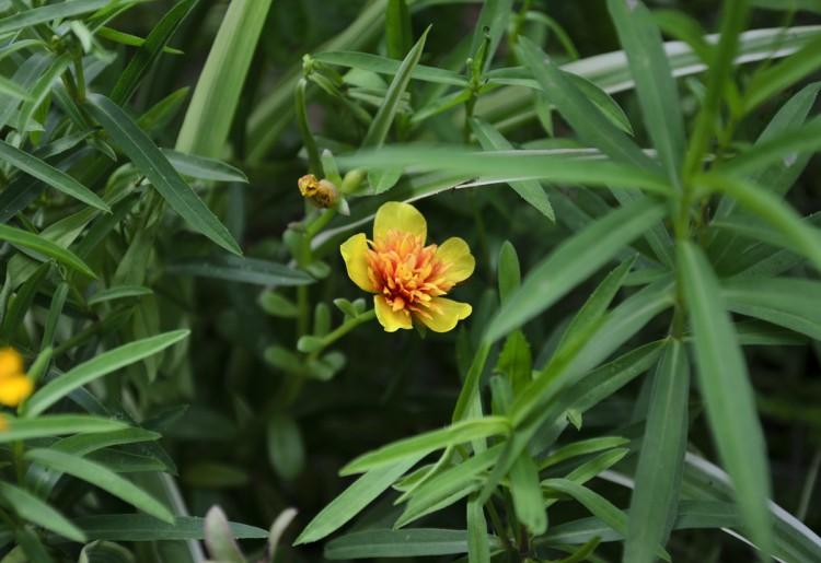 Dragoncello: proprietà e usi di un'erba aromatica