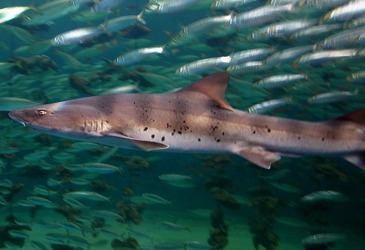 Pesce palombo, proprietà e calorie