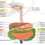 Amilasi pancreatica