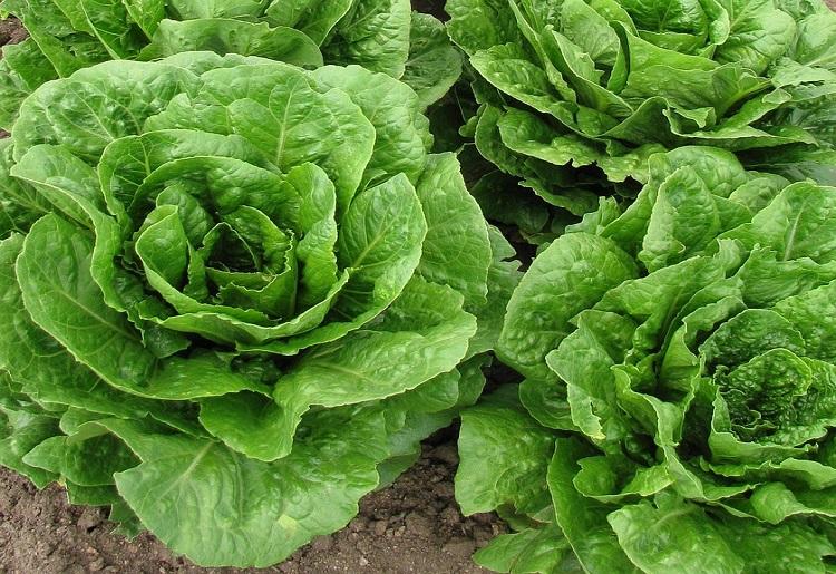 Insalata verde, calorie e valori nutrizionali