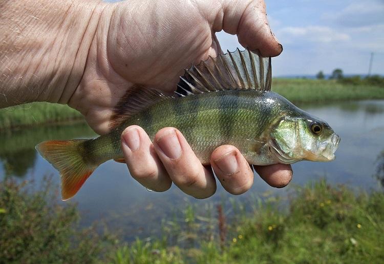 Pesce Persico Calorie Proprietà E Valori Nutrizionali