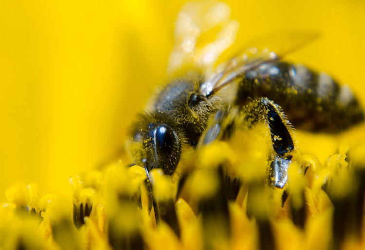 Polline d'api integratori, a cosa serve e benefici