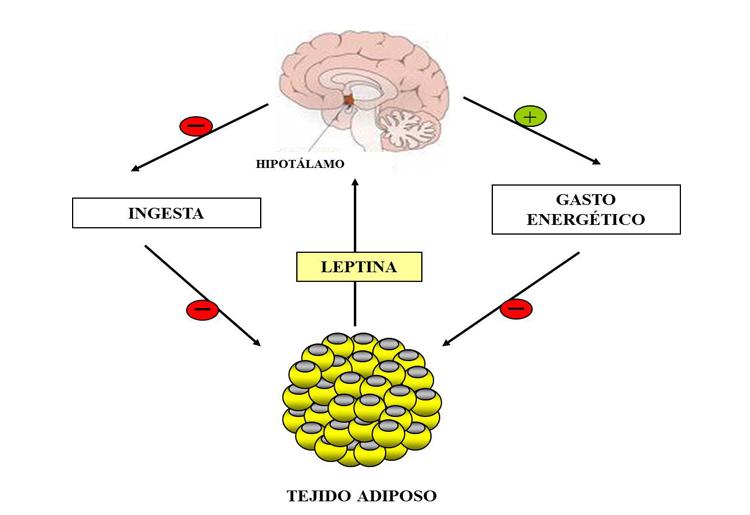 La Leptina, che cos'è e le sue funzioni