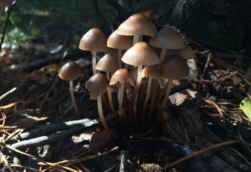 Funghi chiodini, proprietà e valori nutrizionali