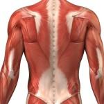 muscoli-spalla
