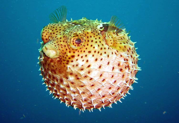 Pesce Palla, il suo veleno e l'utilizzo alimentare