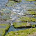 alghe-klamath