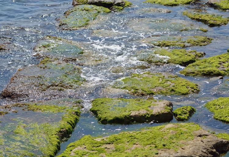 Alghe Klamath, cosa sono e a cosa servono