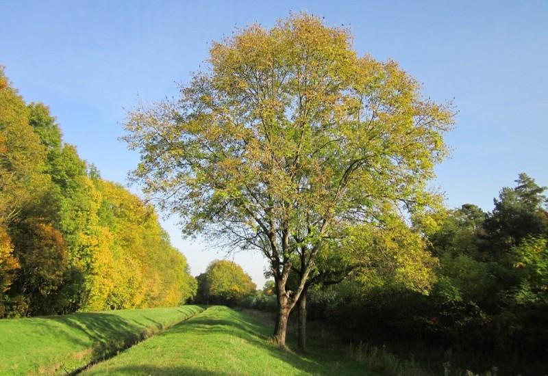 Frassino, proprietà della pianta, benefici e controindicazioni