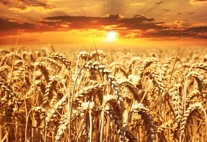 Differenze tra grano duro e grano tenero