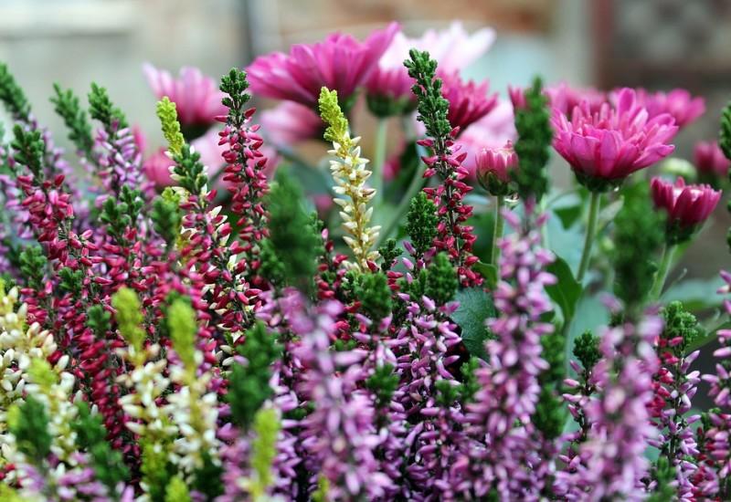 Erica, proprietà e benefici di questa pianta